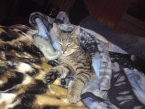 Zaginęła kotka. Poszukiwana szaro-bura kotka Nusia