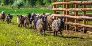 Owce dotarły do Jaworzna